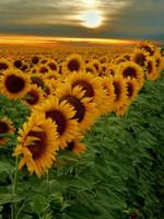 Buterbaugh Nick's Sunflower