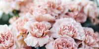 carnation perfume sample set