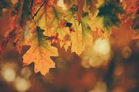 Autumn Leaves perfume sampler, perfume sample, Autumn, Leaves