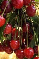 Cherry Perfume - Sweet, Luscious Cherry Sampler - 9 Sample Set