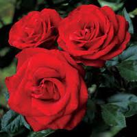 Rose Fragrances for Men Sample Set - 7 Samples