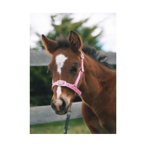 Foal Halter