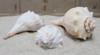 Atlantic Whelk Seashell