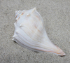 Atlantic Whelk