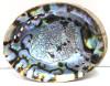 "5-6"" Blue/Green Abalone Shell"