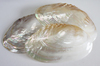 Large Polished Oyster Shell