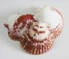 Calico Pectin Shells