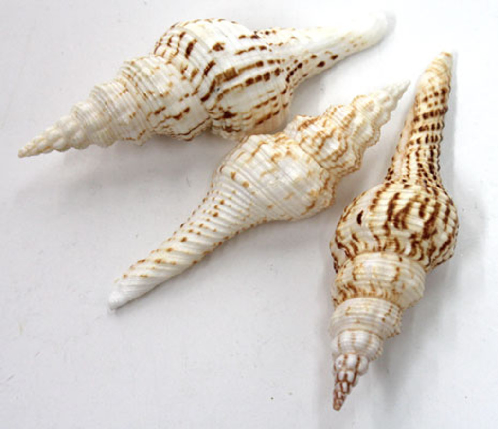 """Brown & White Spindle Seashell 4""""+"""
