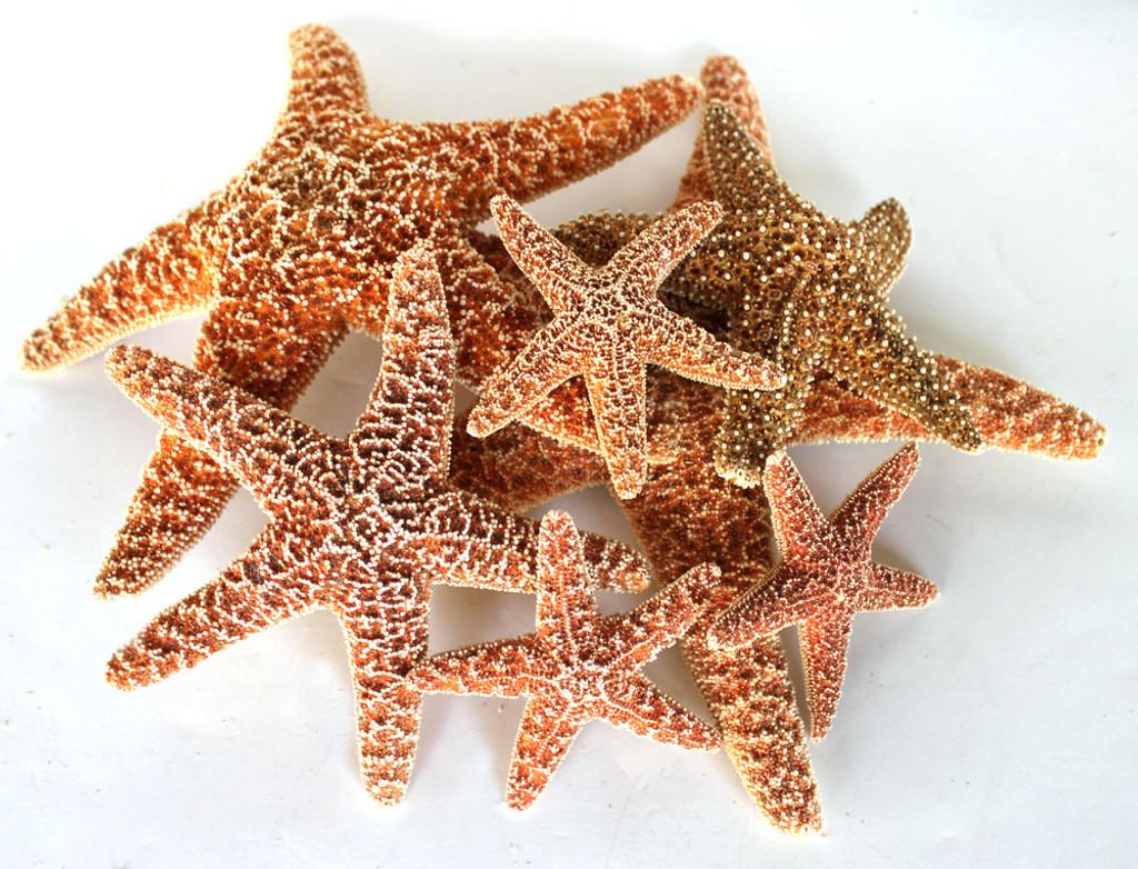 Sugar Starfish - Individual