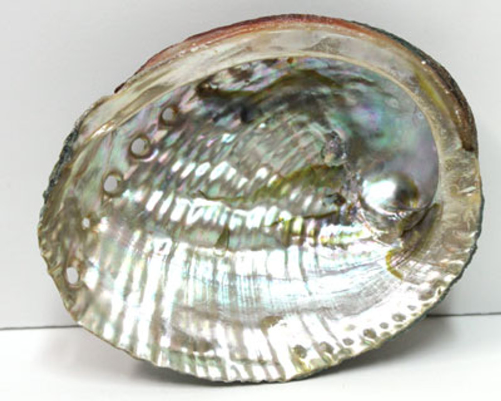 "3-5"" Blue/Green Abalone Shell"