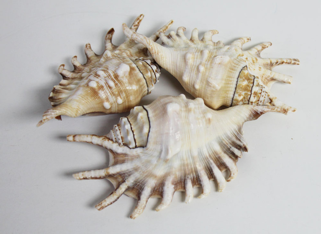 Cluster of lambis shells