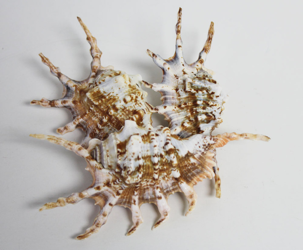 Cluster of Scorpion Shells