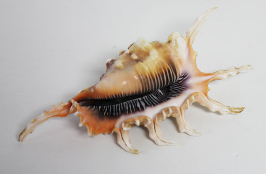 "Rugosa Scorpion Seashell 3""+"