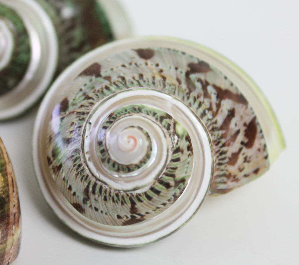 Close Up of Banded Tapestry Turban Shell