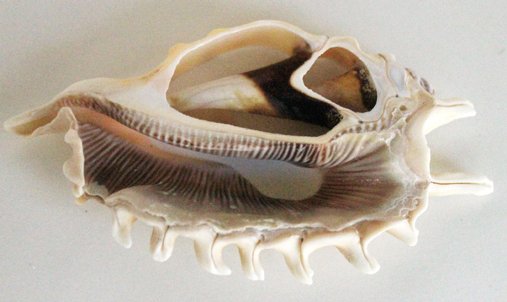 Sliced Millipede Conch