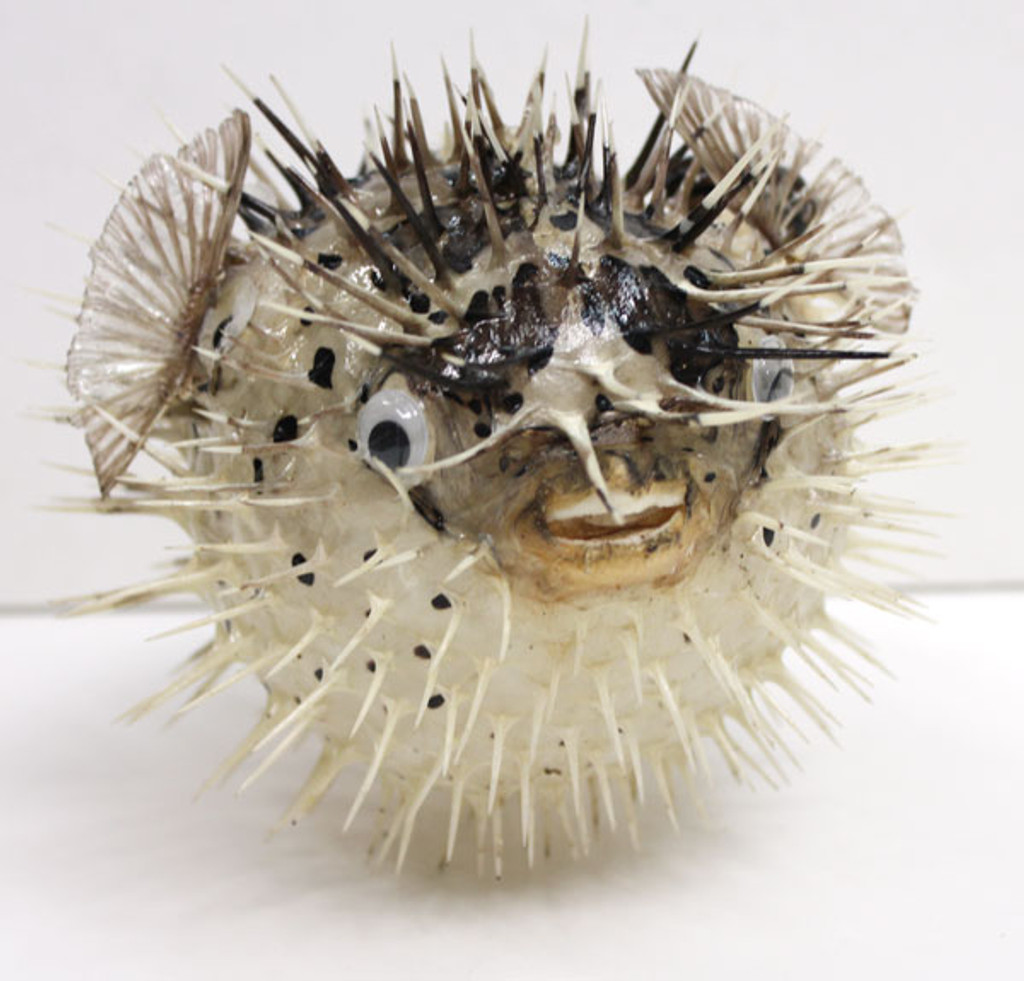 Front View - Puffer Fish