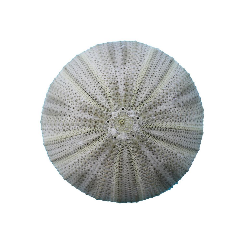 Green Sea Urchin Magnet