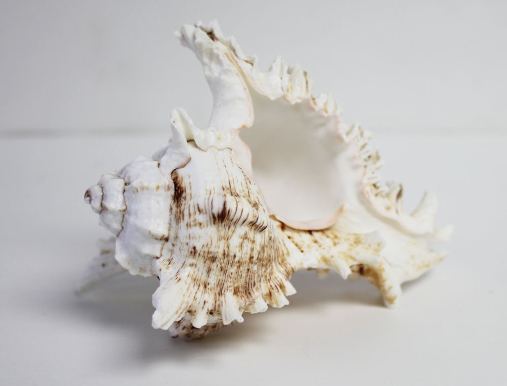 Underside of a Ramose Shell