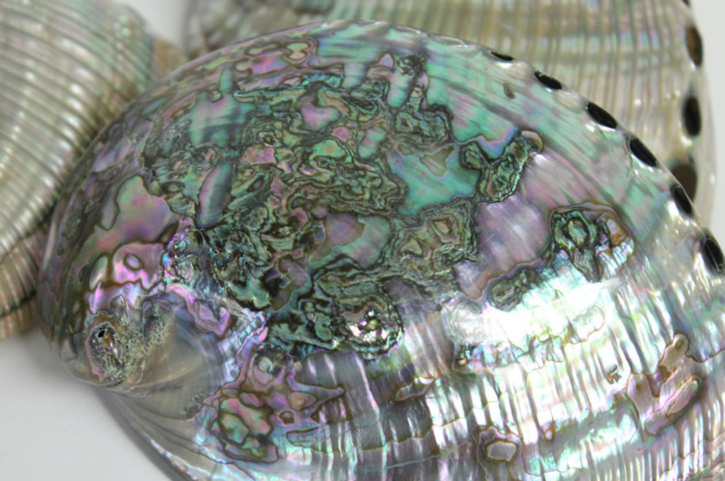 Varying patters in Polished Blue Green Abalone