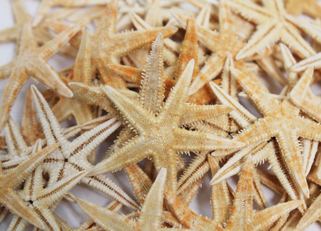 P.I Starfish Tiny - 100 Pieces