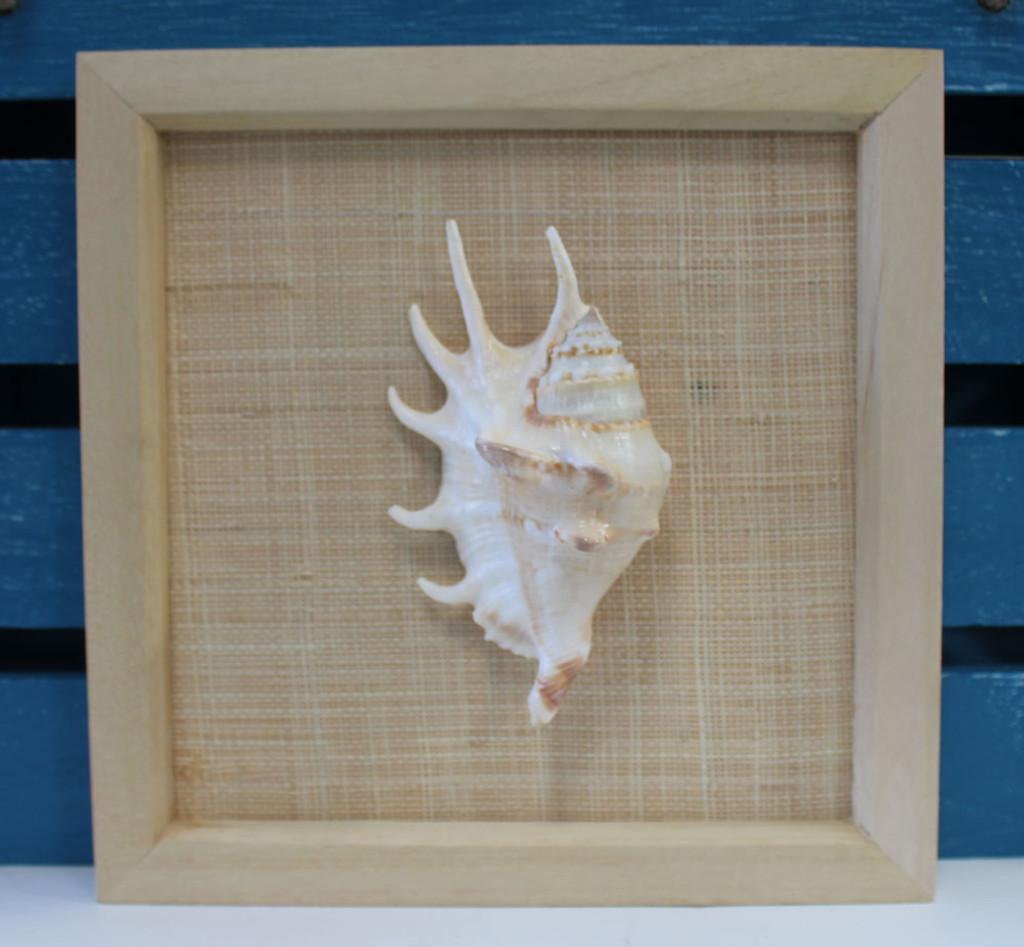 Framed Lambis Lambis
