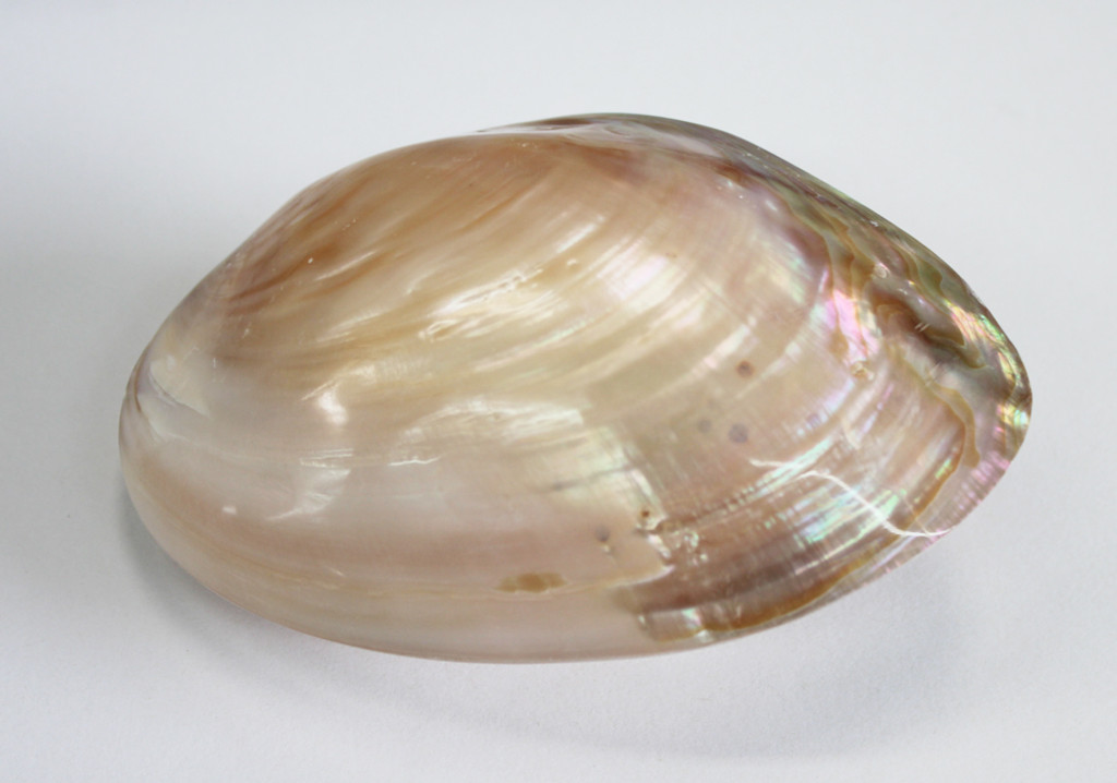 Natural Polished Clam Pair