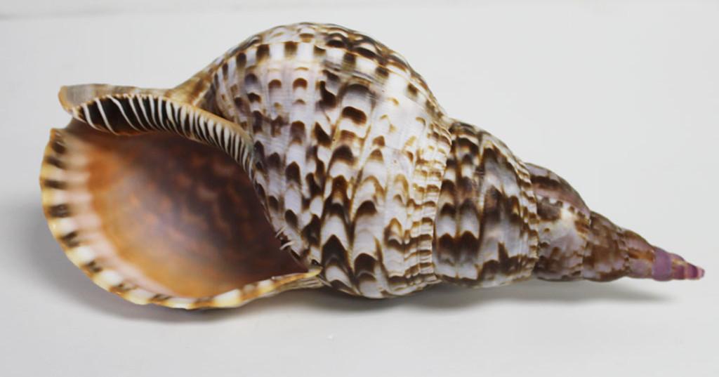 Underside of Triton Shell