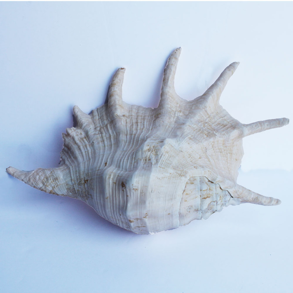 Truncata Spider Conch Seashell
