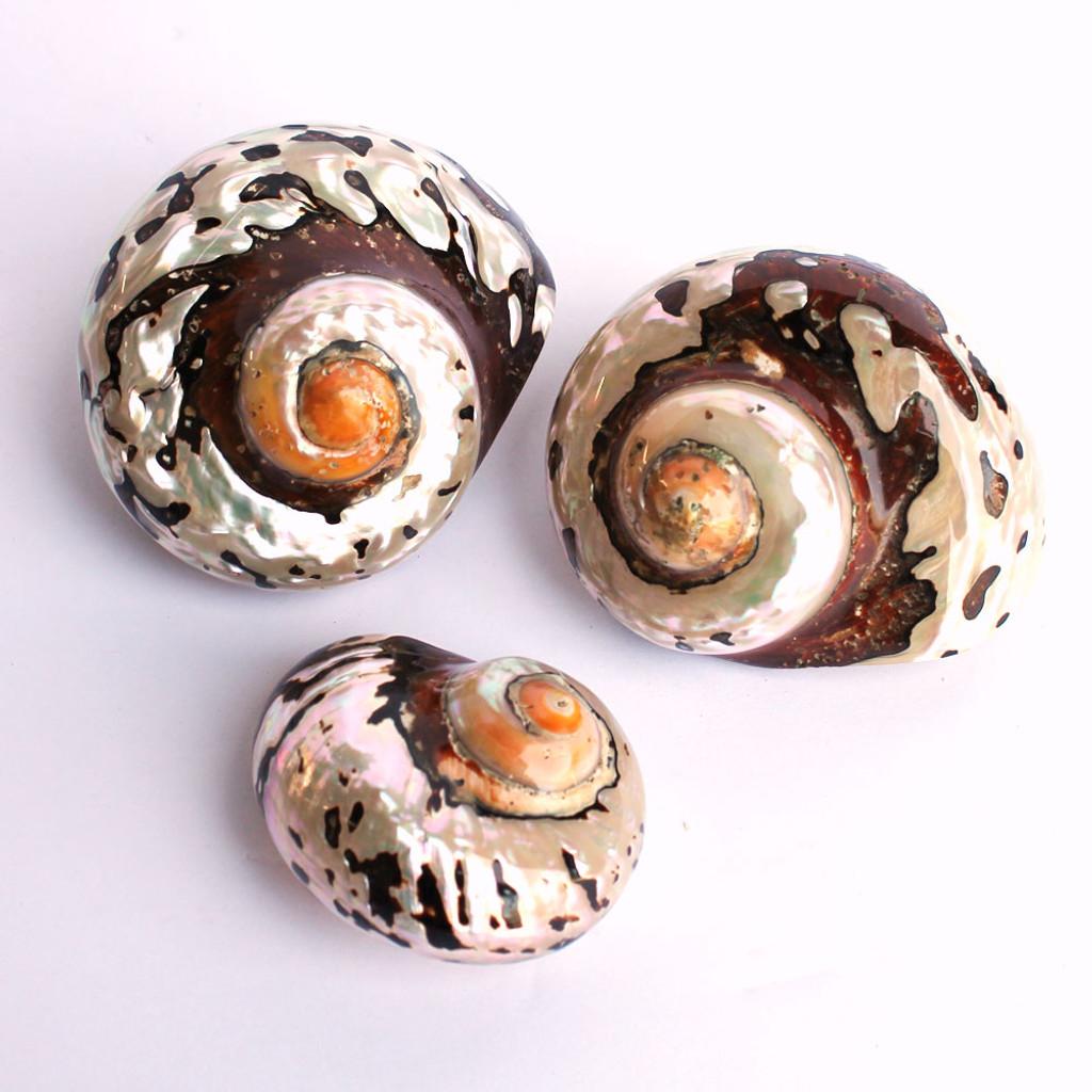 Polished Turbo Sarmaticus Shell