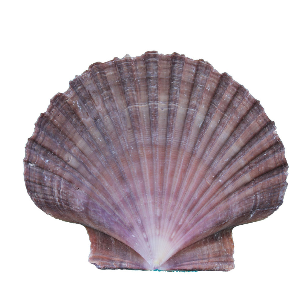 Brown Flat Seashell Magnet