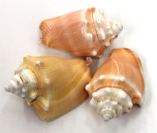 "2-3"" Fighting Conch Seashells ( 1 KILO )"