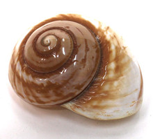 """Polished Brown Land Snail Shell 3 """"+"""