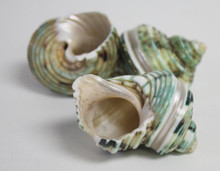 Polished Green Banded Turbo Shell