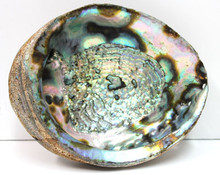 "7-8"" Blue/Green Abalone Shell"