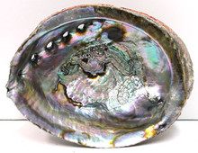 "6-7"" Blue/Green Abalone Shell"