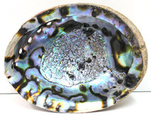 "5-6"" Blue/Green Abalone Shell"