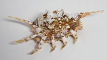Rugosa Scorpion Seashell