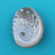 Baby Abalone Seashell Magnet