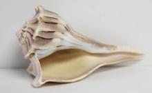 Lip and underside of whelk