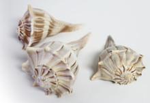 Cluster of Left Handed Whelk