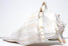 Left-Handed Lightning Whelk Seashell
