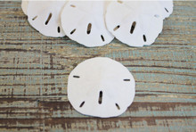 "Keyhole Sand Dollar 1.5-2"" (100 Pieces)"
