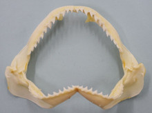 "6"" Shark Jaw"