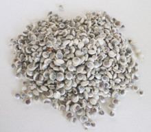 Pearl Umbonium Button Top Seashells - 1 Kilo