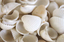 White Clam Rose Seashells - 1 Pound