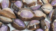 Snakehead Purple Top Cowrie Seashells - 50 Pieces