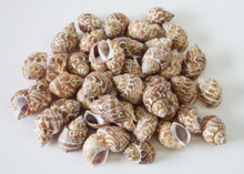 Babylonia Shell