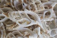 Center Cut Bursa Seashell