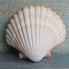Yellow Cup Seashell