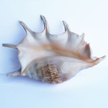 "Truncata Spider Conch Seashell - 9-10"" B-Grade"